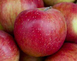 Esopus Spitzenburg apples grown by Michael Cirone (See Canyon) in San Luis Obispo, at the Santa Monica farmers market, 9/15/10 © David Karp