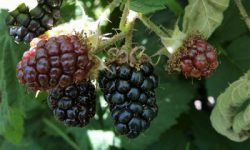 Blackberries Silvan JH Cropped Light (350 x 255)