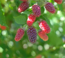 Tayberries JH 062317