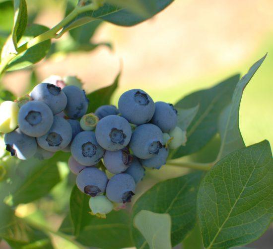 Blueberries Duke EH2