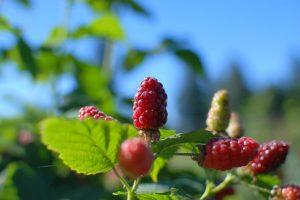 Tayberries Sky JH 062317
