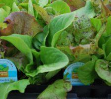 Organic-Lettuce