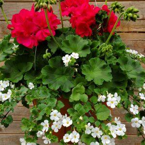 Geranium Hot Rose