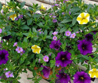 Purple Lemon Swirl 10