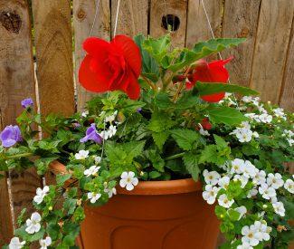 Begonia Mix Rose