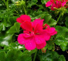 Geranium Calliope Hot Pink